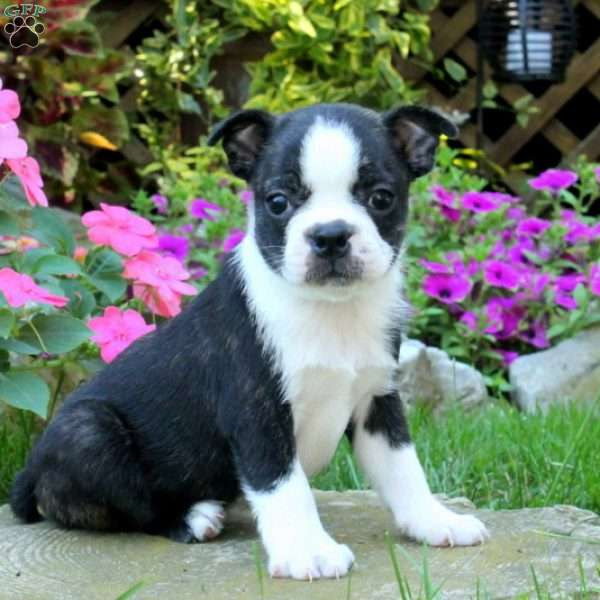June, Boston Terrier Puppy