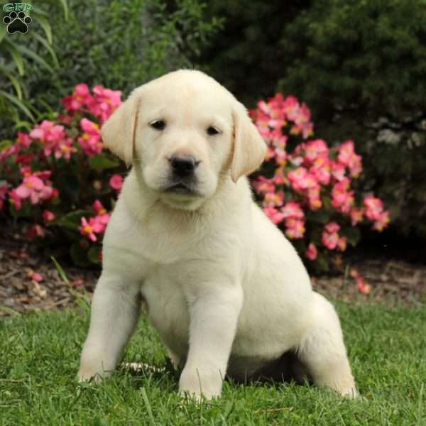 Kara, Labrador Retriever - Yellow Puppy
