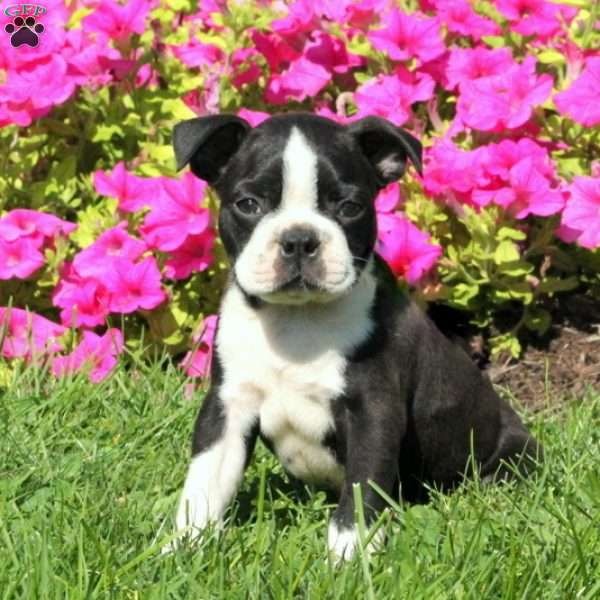 Kent, Boston Terrier Puppy