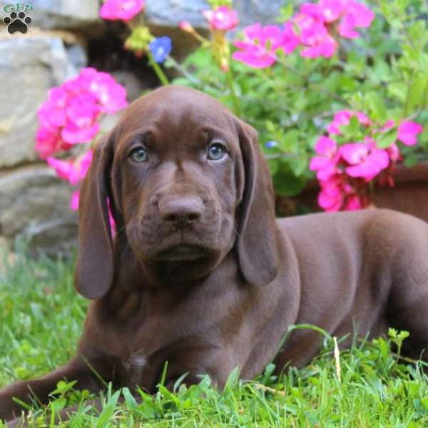Manly, German Shorthaired Pointer Puppy