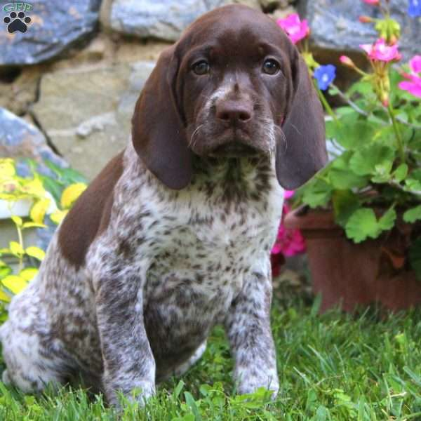 Mitzy, German Shorthaired Pointer Puppy