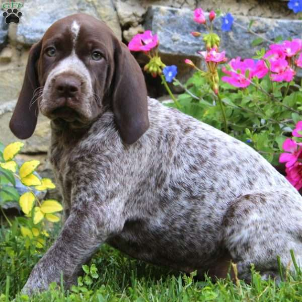 Molly, German Shorthaired Pointer Puppy