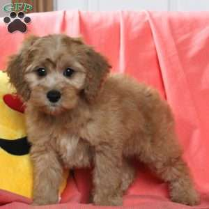Cockapoo Puppies For Sale In DE MD NY NJ Philly DC and ...