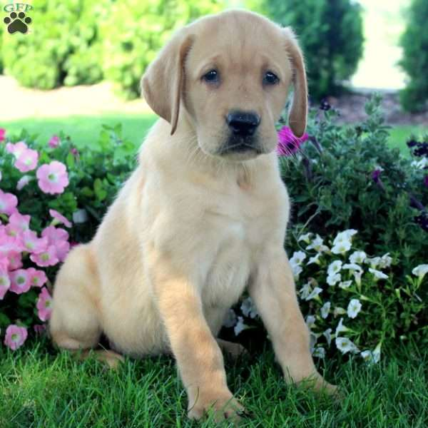 Nolan, Labrador Retriever-Yellow Puppy