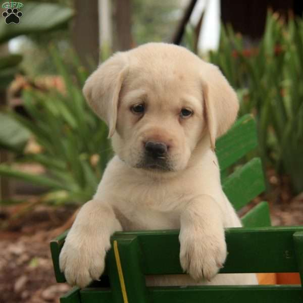 Nora, Labrador Retriever - Yellow Puppy