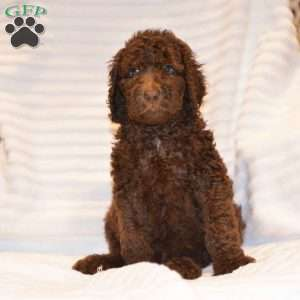 Standard Poodle Puppies Virginia Beach