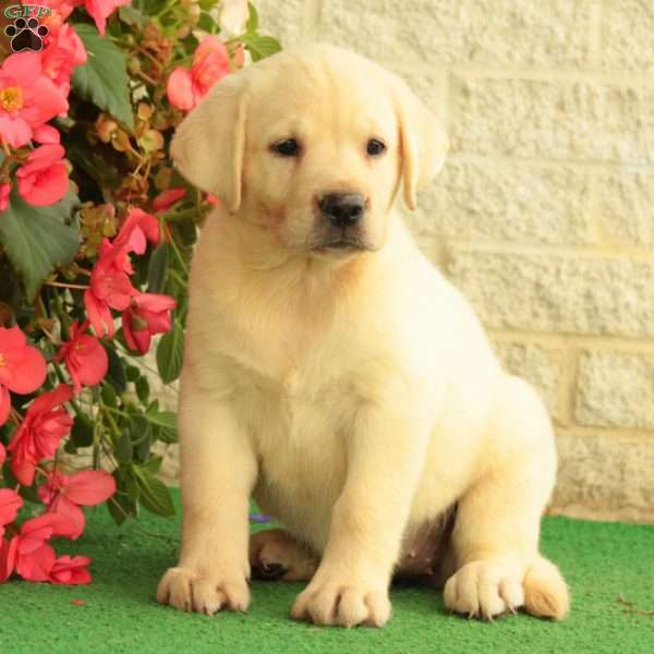 Pippy, Labrador Retriever-Yellow Puppy