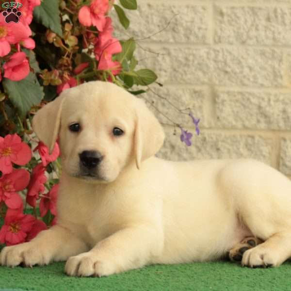 Pudge, Labrador Retriever-Yellow Puppy