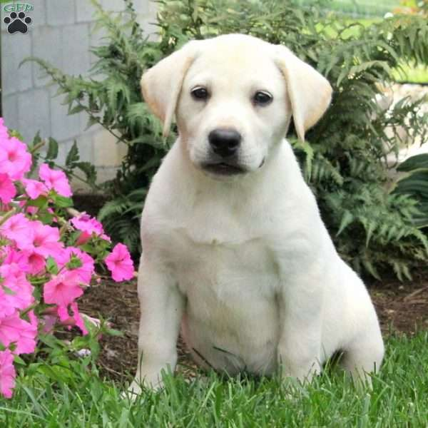 Rory – English Lab, Labrador Retriever-Yellow Puppy
