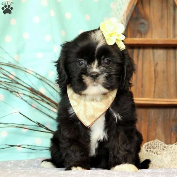 Rosalie, Cavalier King Charles Mix Puppy