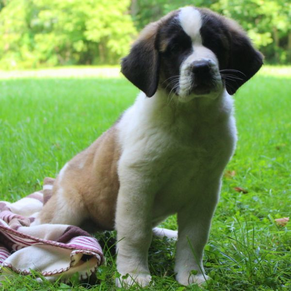 Saint Bernard Mix Puppy