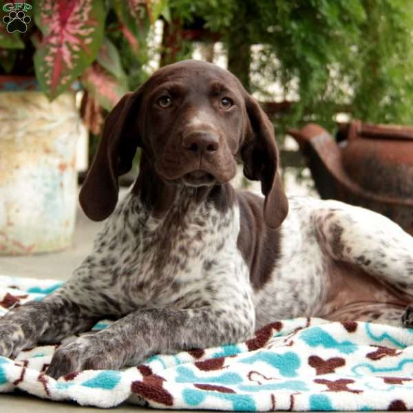 Sasha, German Shorthaired Pointer Puppy