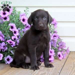 Chocolate Lab Puppies For Sale In PA | Greenfield Puppies