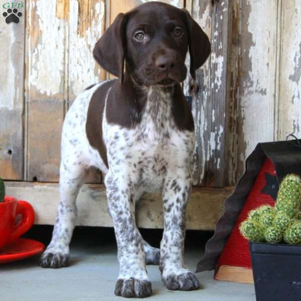 Snoopy, German Shorthaired Pointer Puppy