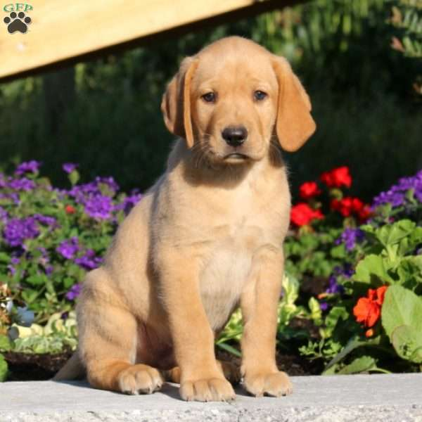 Sonny, Labrador Retriever-Yellow Puppy