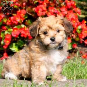 yorkie chon for sale yorkie chon puppies for sale greenfield puppies 6195