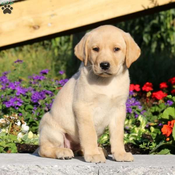 Sweetie, Labrador Retriever-Yellow Puppy