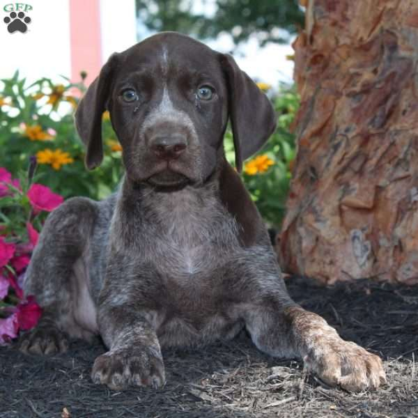 Tabby, German Shorthaired Pointer Puppy