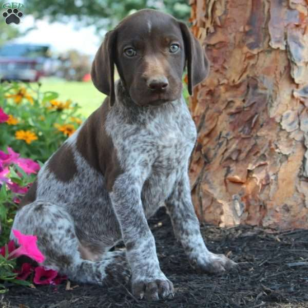 Taffy, German Shorthaired Pointer Puppy