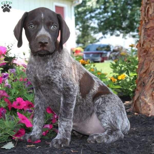 Tiffany, German Shorthaired Pointer Puppy