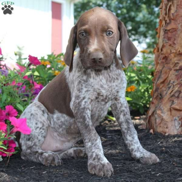 Tilly, German Shorthaired Pointer Puppy