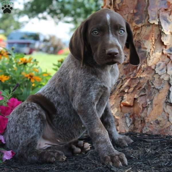 Tiona, German Shorthaired Pointer Puppy