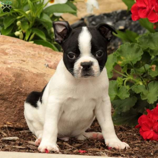 Toby, Boston Terrier Puppy