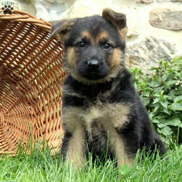 Tracy, German Shepherd Puppy
