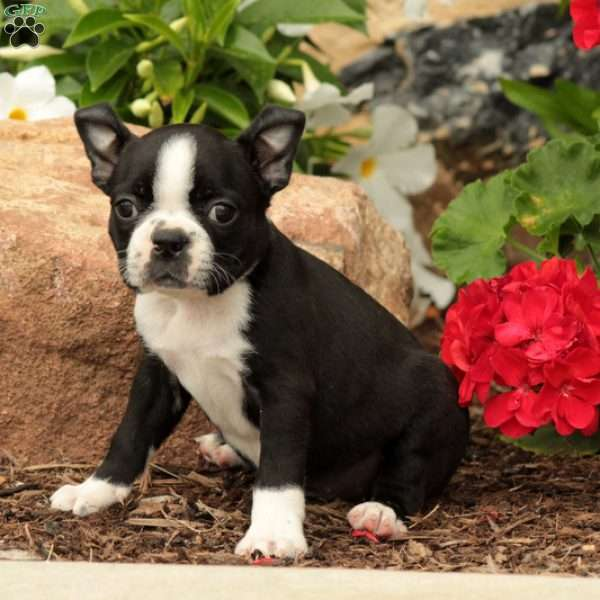 Tulsa, Boston Terrier Puppy