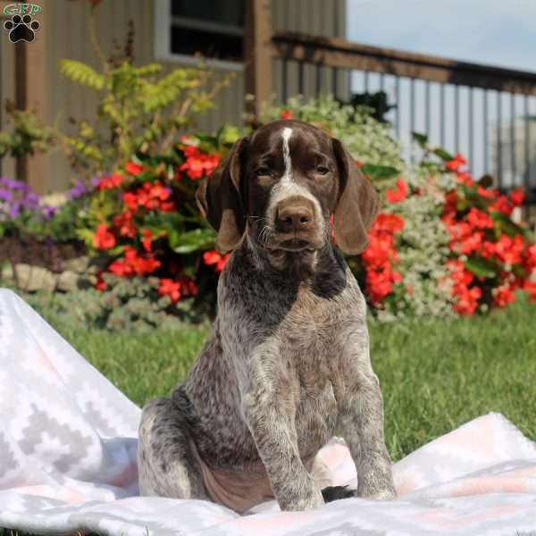 Twinkles, German Shorthaired Pointer Puppy