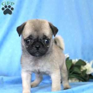 pug puppies for sale in nj miniature pug puppies for sale in de md ny nj philly dc 8958