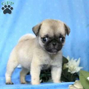 pug puppies for sale in nj miniature pug puppies for sale in de md ny nj philly dc 2772