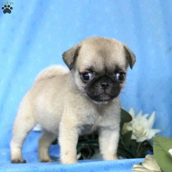 Veronica - Miniature Pug Puppy For Sale in Pennsylvania