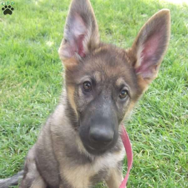 Vickie, German Shepherd Puppy