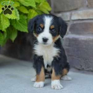 Bernese Mountain Dog Puppies For Sale Victoria