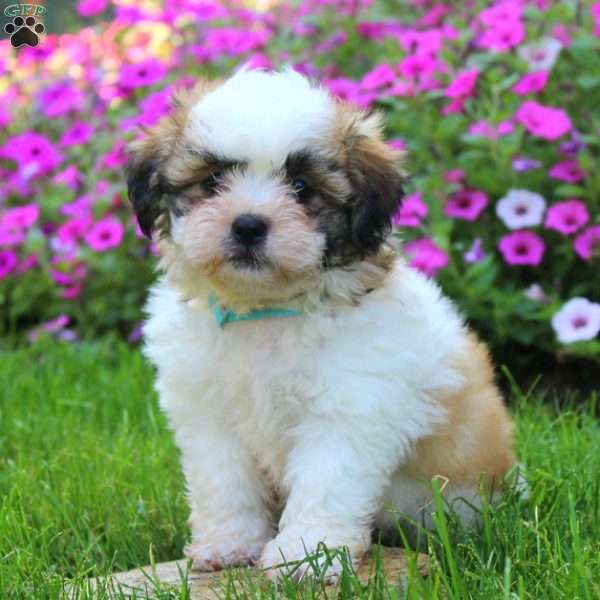 Victory, Shichon / Teddy Bear Puppy