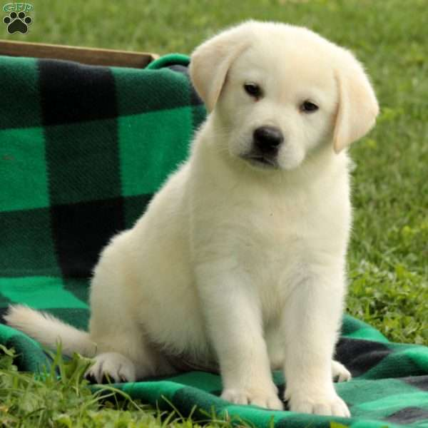 Zach, Labrador Retriever - Yellow Puppy
