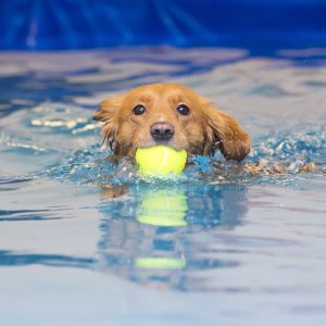 canine hydrotherapy - dog in water with tennis ball
