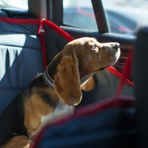 comfortable travel with your dog - dog in car