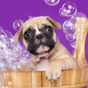 dog bathing - french bulldog puppy in wooden tub with bubbles