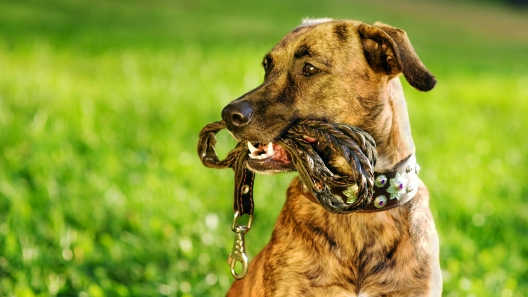 Should I Train My Dog to Walk Off-Leash?