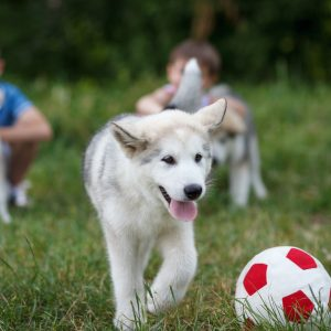 young kids and puppies - children playing soccer with malamute puppies