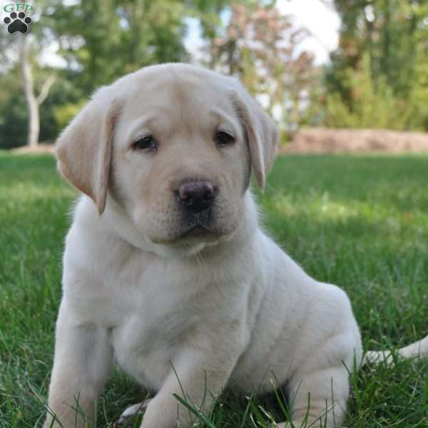 Buster, Labrador Retriever - Yellow Puppy