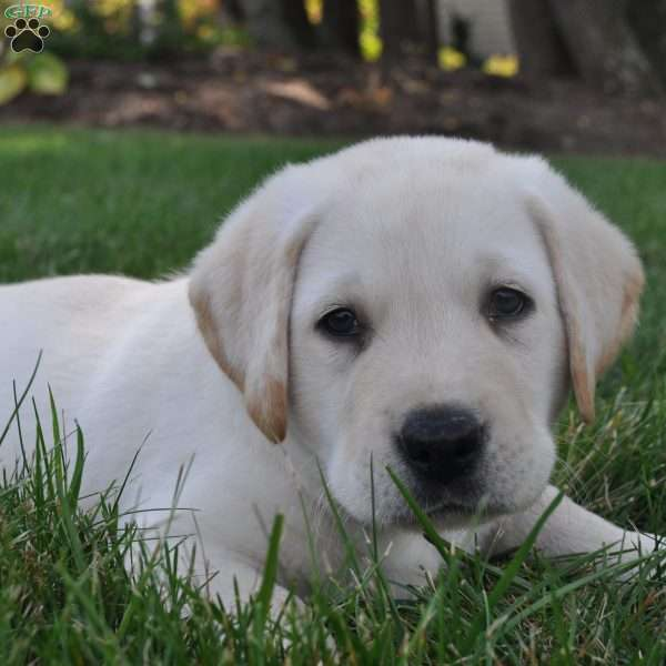 Hudson, Labrador Retriever-Yellow Puppy