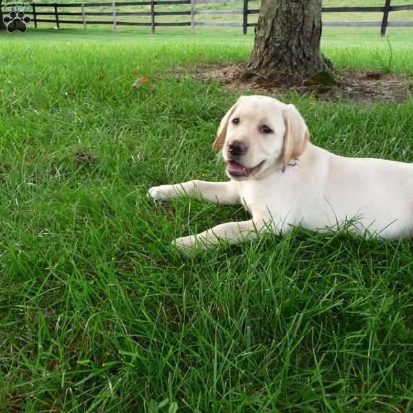 Addy, Labrador Retriever-Yellow Puppy