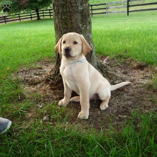 Aden, Labrador Retriever-Yellow Puppy