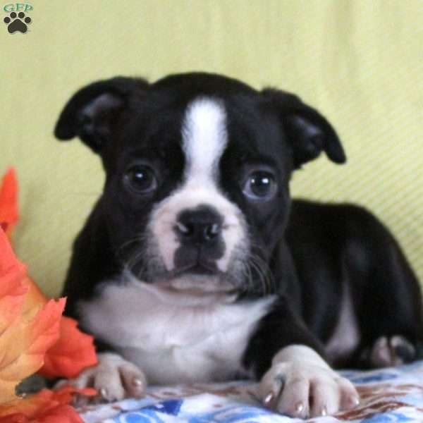 Adrien, Boston Terrier Puppy