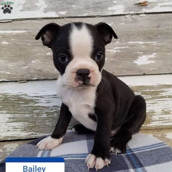 Bailey, Boston Terrier Puppy