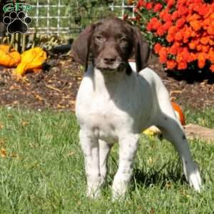 Barbie, German Shorthaired Pointer Puppy