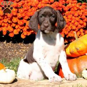 Blakely, German Shorthaired Pointer Puppy